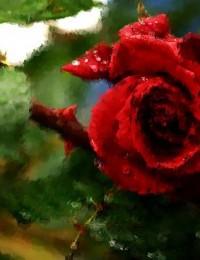 rosa b