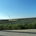 Agricultural production at the periphery of the city: cabbage and cauliflower