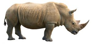 rinoceronte-blanco3-800