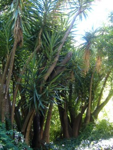 Iuques gegants (Yucca gigantea)