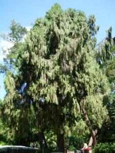 Ciprés llorón (Cupressus funebris)