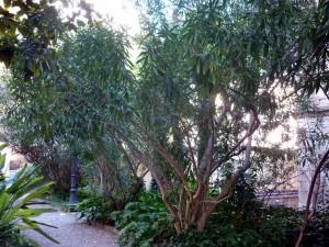 Adelfa (Nerium oleander)