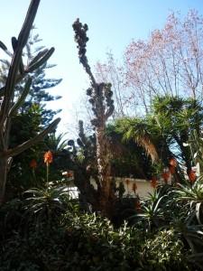 Montaña de Montserrat  (Cereus hildmannianus var. Monstruosus)
