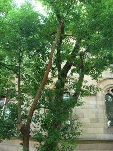 Alcanforero  (Cinnamomum camphora)