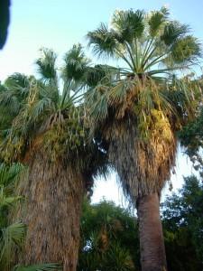Palmera de abanico (Washingtonia filifera)