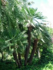 Palmito (Chamaerops humilis)