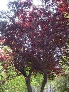 Ciruelo rojo  (Prunus cerasifera var. pissardii)