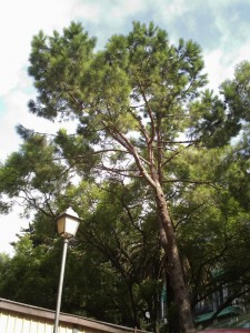 Pi pinyer (Pinus pinea)
