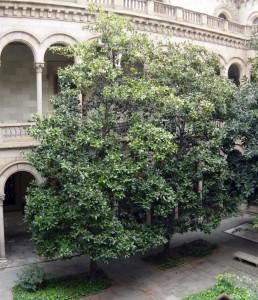 Magnolia (Magnolia grandiflora)