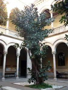 Ficus de caucho (Ficus elastica)