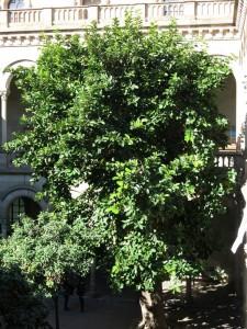 Figuera de Mysore (Ficus drupacea)
