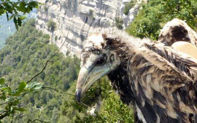 S'equipen amb emissors GPS els polls d'aufrany del Parc Natural de Sant Llorenç del Munt i l'Obac i de l'Espai Natural Guilleries-Savassona