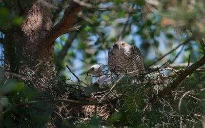 An indicator of mature and endangered forests: The Northern Goshawk