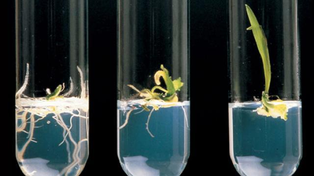 Obtención de plantas transgenicas resistentes a un herbicida