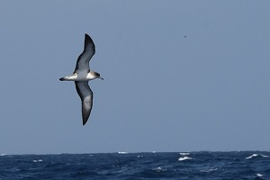 Albatrosses and petrels are extremely vulnerable to the threats both at sea and land. Image: <i>Calonectris edwardsii</i>