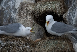 The kittiwake (Rissa tridactyla) is one of the most emblematic marine species of the arctic area