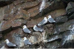 Kittiwakes with light level geolocators to track the migration.