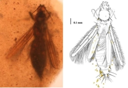 A sample of the species <i>Gymnopollisthrips maior</i> with the pollen grains (piece of amber from Álava).