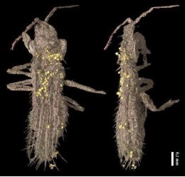 <i>Gymnopollisthrips minor</i>(imatge del sincrotró de Grenoble, ESRF).