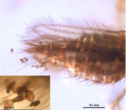 Gymnosperm pollen attached to the abdomen and wings of a thysanopteran insect.