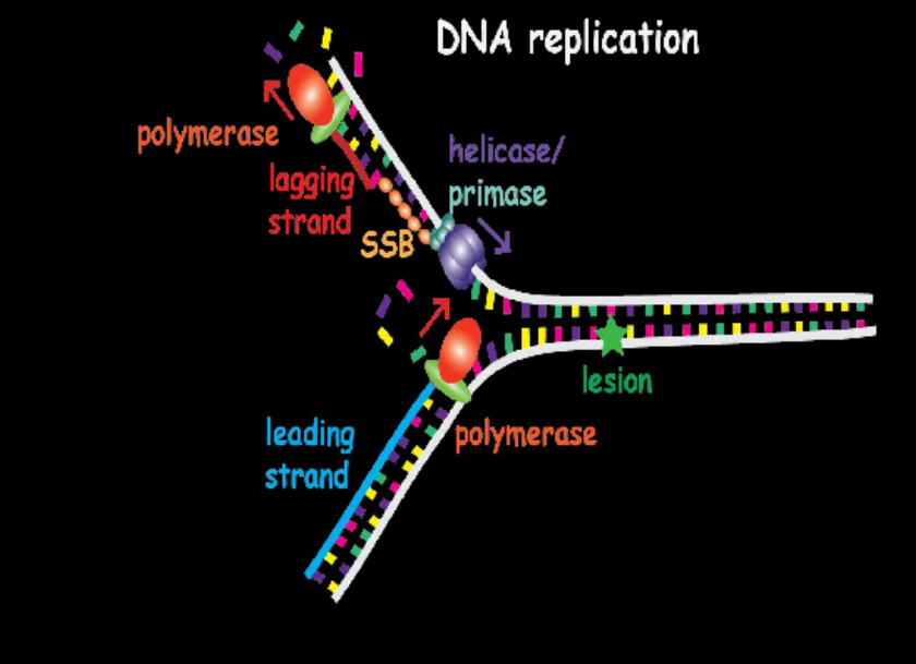 Universitat de barcelona a pathway to bypass dna lesions in the a pathway to bypass dna lesions in the replication process is experimentally shown pronofoot35fo Images