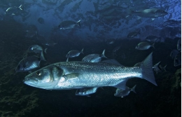 The study shows that european seabass populations are practically recovered.