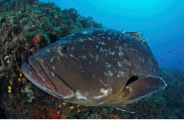 Dusky grouper, a sendentary fish species, answer positively to protection.