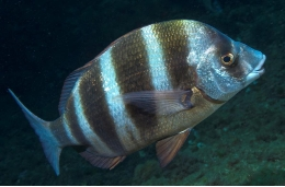 Protection in the Medes Islands also benefits zebra seabream.