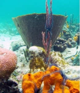 Sponges represent a rich animal diversity found throughout the world, from tropical climates to the arctic poles, and they are an excellent model to study metazoan evolution. Image: Ana Riesgo, UB-IRBio