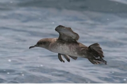 Balearic shearwater, listed as critically endangered by the International Union for Conservation of Nature (IUCN) and also affected by this problem. Photo: Pep Arcos,SEO/BirdLife