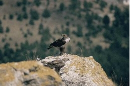 The Bonelli's Eagle is one of the most representative —and threatened— raptor species of the Mediterranean region.
