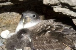 The consequences of an infection outbreak on a colony of seabirds may be devastating. Photo: Raül Ramos, UB-IRBio