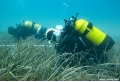 The seagrass <i>Posidonia oceanica</i> are useful bioindicators for environmental monitoring programmes. Photo: Matteo Ciani- Improvements in wastewater treatment produce cleaner coastal waters in Catalonia