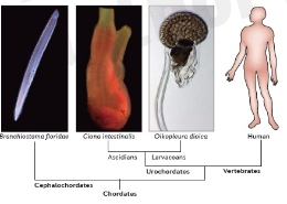 The chordate  <i>O. dioica</i>, despite losing lots of genes, maintains a typical body plan with organs and structures (heart, brain, thyroids, etc.) which can be considered to be homologues to the vertebrates (image: Nature Publishing Group)