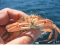<i>Liocarcinus depurator</i> crab, known as false swimcrab or soup crab, is an nocturnal decapod crustacean. - Studying marine crab genetic diversity in the Atlantic and Mediterranean ocean barriers