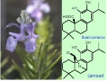 Experts of the Faculty of Pharmacy and Food Sciences and the Center for Research in Agricultural Genomics (CRAG) are contributing to elucidate and reconstitute the complete synthesis of a strong natural antioxidant from rosemary and sage into yeast cells.- Experts of the UB and CRAG reconstitute the complete synthesis of carnosic acid in yeast cultures