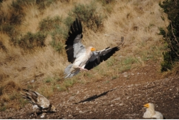 The Conservation Biology Group of the UB and the IRBio carries research out aiming to discover the environmental and anthropic factors that define the growth of Catalan population of the Egyptian vulture.