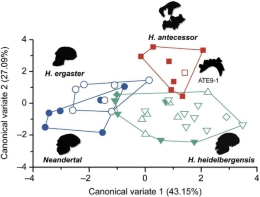According to the new study, the <i>Homo antecessor</i> processed and consumed food differently from Lower Pleistocene hominines.