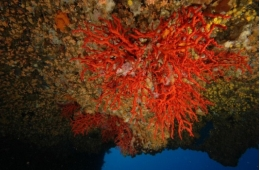Ecologically, red coral populations play an important role in the marine ecosystems.