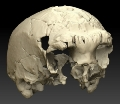 The Aroeira cranium is an important contribution to the knowledge of human evolution in Europe's Middle Pleistocene and the origins of the Neanderthal peoples.- Researchers find the westernmost human fossil from Middle Pleistocene in the European continent