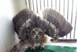 Could the experts find a couple of wild eagle-owls so that they could foster the young eagle-owl?