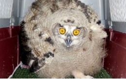 The eagle-owl <i>Piju</i> was found in a path in Sant Cugat del Vallès.