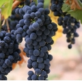 Resveratrol is a polyphenol substance mainly found in grape-derived products.- Researchers find reservatrol protection mechanism against Alzeimer's cell alterations