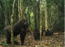 According to the experts, the social behaviour of the western lowland gorilla can impact the transmission of diseases in this endangered species. Photo: Germán Illera