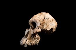 The cranium specimen was founded almost complete in 2016. Credit: Dale Omori, CMNH