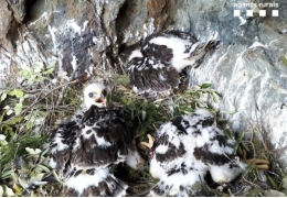 Bird ringing, carried out by the Conservation Biology Group of the University of Barcelona, in collaboration with the Mountain support group, enabled the identification of this exceptional finding in the natural park of Cap de Creus.