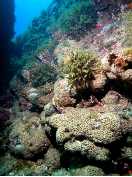 Coral <i>Cladocora caespitosa</i> is listed as an endangered species, mainly because of the mortalities associated with global warming.