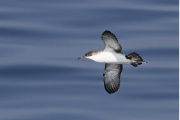 This species is one of the most hurt seabirds due the impact of fishing activity worldwide. Photo: Camil Albert