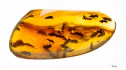 A large group of an only species of beetles in an amber piece could only be explained due to mating or pollination.
