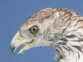 Some of the most affected birds by electrocution are emblematic species such as the Bonelli's eagle.- Bonelli's eagle: five steps to stop the death of the most threatened birds of prey due to unnatural causes